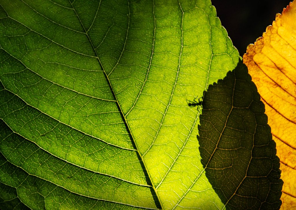 Hangya a levélen / Ant on the leaf (2018)
