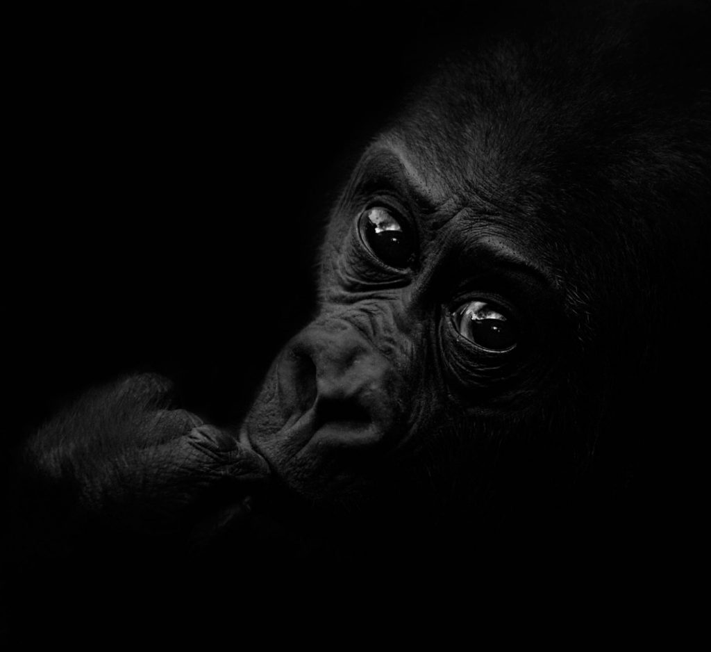 Bongo, a kis gorilla (2011)
